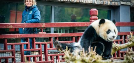 Domper op eerste verjaardag reuzenpandababy: dierentuinen blijven gesloten én Fan Xing slaapt door eigen feestje heen