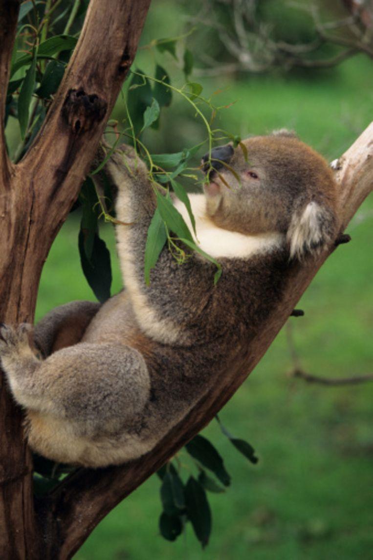 Koala's kan je spotten op Phillip Island Beeld UNKNOWN