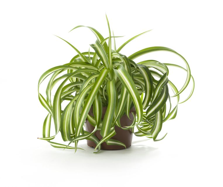 Graslelie Beeld (Chlorophytum comosum)