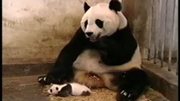 Een knikje naar de meester: de niezende panda. Beeld