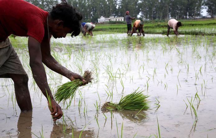 Indiase arbeiders aan het werk op een rijstveld nabij Jammu (India), niet ver van de Indiase-Pakistaanse grens.