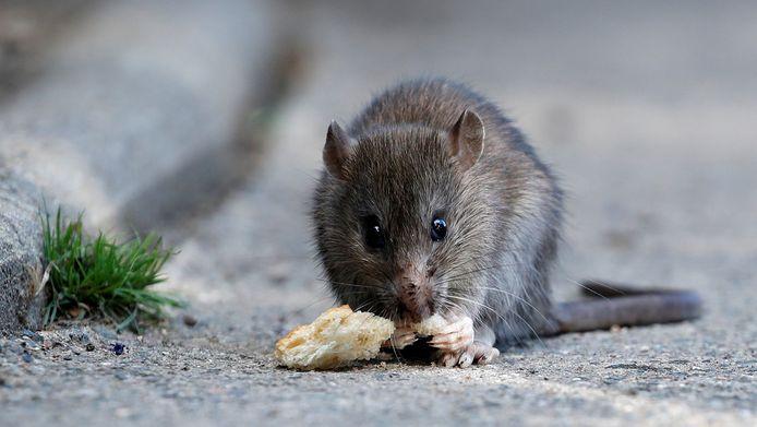 Een rat in actie.