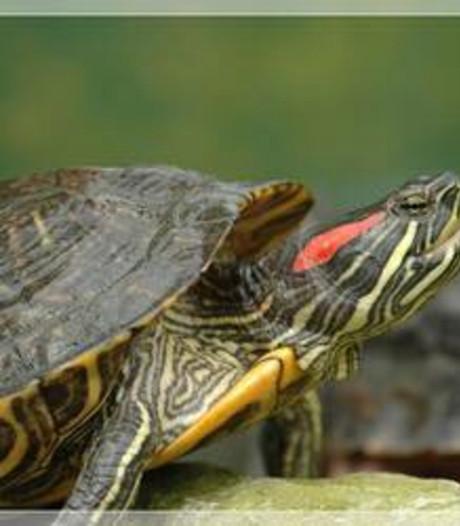Schildpad aan de wandel in Veenendaal