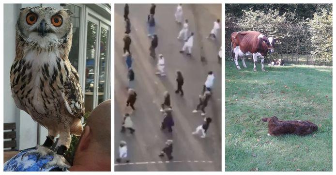 Een uil, een dans en een koe