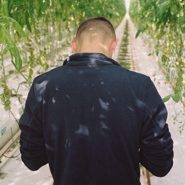 Pawel, de Poolse plukker, tussen de komkommerplanten. Beeld Verena Blok