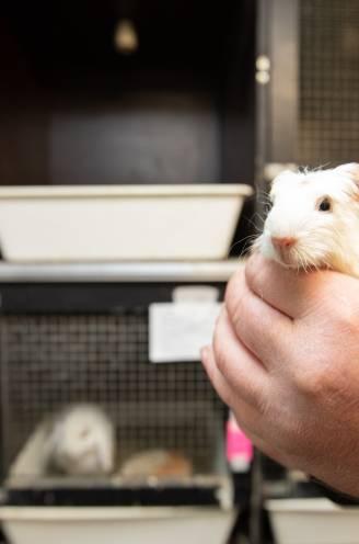 """Vogel- en Zoogdierenopvangcentrum zet zich schrap voor babyboom met 400 cavia's: """"We bezorgen ze allemaal een warme thuis"""""""