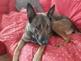 'Gevaarlijke' hond Laika gevonden na grote zoekactie in Nijmegen
