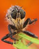 Roodbaardroofvlieg (Eutolmus rubibarbis) met dauwdruppels.