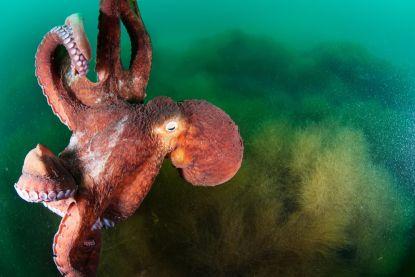 Octopustentakels kunnen autonoom beslissingen nemen zonder input van hersenen