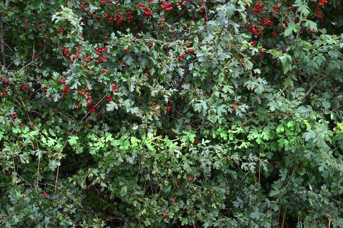 Een meidoornhaag aan de Ten Holtweg bij Gassel is met verf gemarkeerd, nadat een inspecteur bacterievuur heeft ontdekt. De eigenaar wordt gesommeerd de struik te verwijderen, om verdere besmetting van hagen en daarmee het gevaar van de plantenziekte perenvuur te voorkomen.