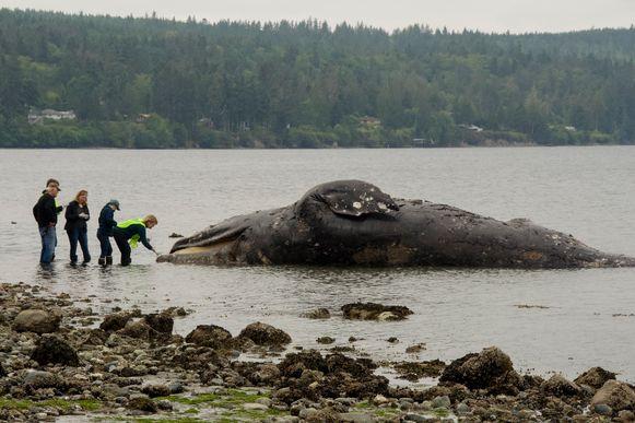 Archiefbeeld van een aangespoelde walvis in Port Ludlow in de staat Washington.