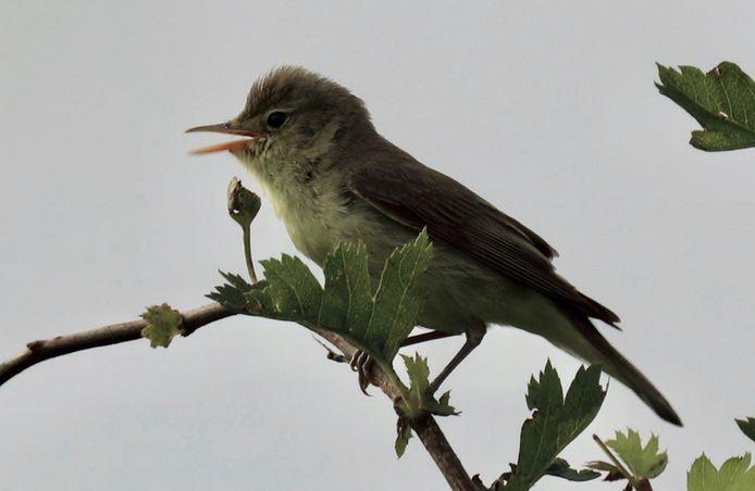 De spotvogel die René Klaassen in het Waspikse Voedselbos zag. Hij zag ook drie jonge vogels.