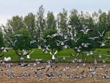 Angerlose 'natuurboer' baalt van ganzen in de Biesbosch