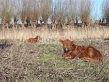 Zorgen over grote grazers vanwege kou