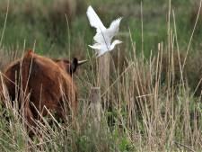 Sensatie voor vogelspotters: de zeldzame koereiger is gespot bij Slot Loevestein