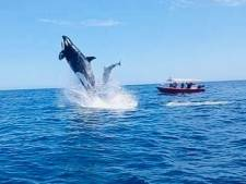 Un orque attaque violemment un dauphin en plein vol