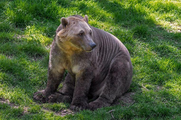 De grijsbeer, een kruising tussen grizzlybeer en ijsbeer. Beeld Arterra/Universal Images Group v
