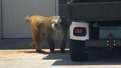 Ontsnapte aap zet luchthaven twee uur lang op stelten