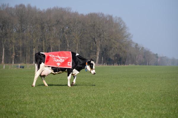 Wifi-koeien die voor grazendsnel internet zorgen in het buitengebied van De Lutte.
