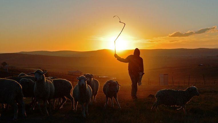 Een jonge herder in Qunu, het dorp waar Nelson Mandela opgroeide. Beeld ANP