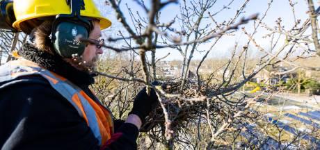 Strijd tegen het geroep van de roek duurt voort: Hilvarenbeek haalt tientallen nesten weg