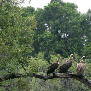 afrikaanse-gieren-met-uitsterven--hun-hersens-worden-opgerookt-in-een-joint