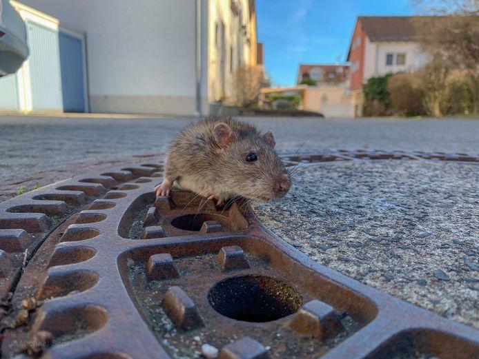 De rat wist niet meer zelfstandig los te komen nadat hij in de putdeksel bekneld raakte.