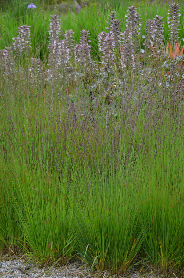 "Molinia caerulea ""Moorhexe"", ook wel pijpenstrootje genoemd"