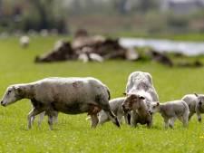 Dode en kreupele schapen baren Miriam van Dierenambulance grote zorgen: 'Wordt niet naar ze omgekeken'