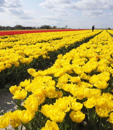 Hier kun je de bloeiende velden rond Hulst vinden
