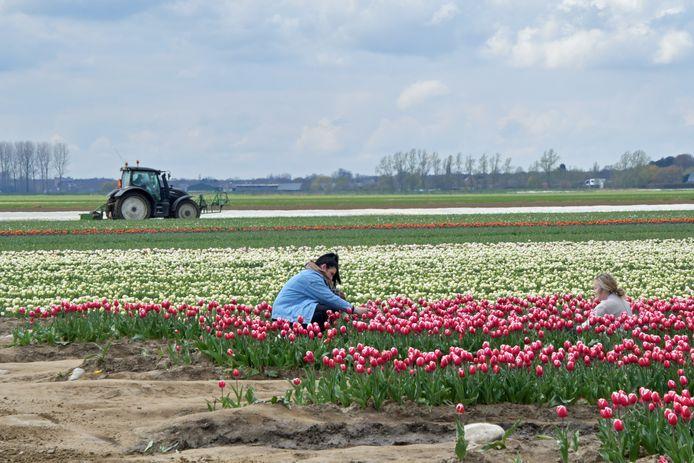 """De laatste tijd trekken heel wat 'tulpentoeristen' naar de velden van Pieter Suy voor niet meer dan een foto, en soms ook een bloem. """"Sommige dames duiken hun auto in om er 2 minuten later met een compleet andere outfit weer uit te komen."""""""