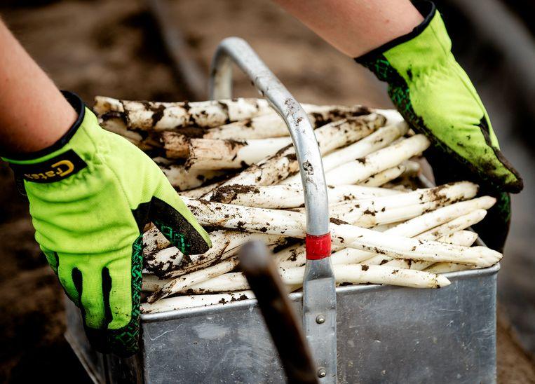 Een medewerker van een aspergekweker aan het werk. Beeld Robin van Lonkhuijsen, ANP