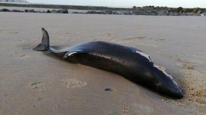 Opnieuw bruinvis aangespoeld aan onze kust