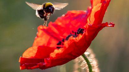 Hongerige hommels knabbelen aan planten om ze sneller te doen bloeien