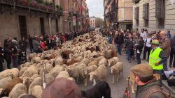 2.000 schapen trekken door de straten van Madrid