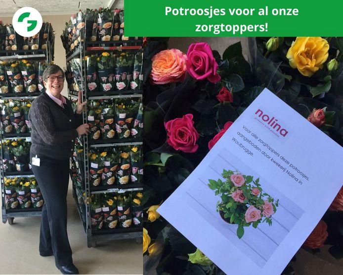 Tweeduizend potrozen voor Groene Hart Ziekenhuis in Gouda, afkomstig van kwekerij Nolina uit Woubrugge.