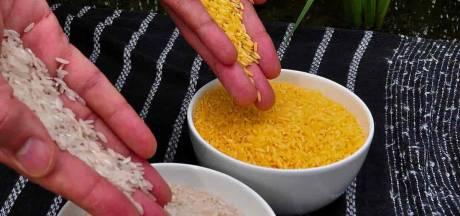 """Le """"riz doré"""", OGM contre la cécité infantile sera commercialisé aux Philippines"""