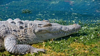 Doopceremonie aan oever van meer draait uit op tragedie: krokodil springt uit water en doodt priester