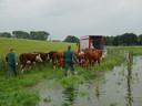 Vrijwilligers helpen bij het evacueren van de Hereford-koeien en -kalveren uit de IJssel-uiterwaarden bij Zwolle.