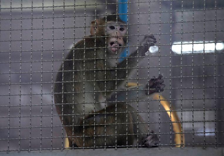 een makaakaapje in het Thaise National Primate Research Center in de provincie Saraburi. Beeld AP