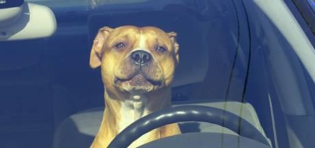 Waarschuwen blijft nodig: Hond kan al binnen half uur overlijden in hete auto