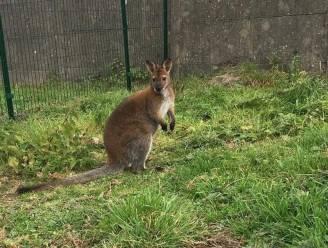 Vermiste wallaby Sam (3) helaas dood teruggevonden