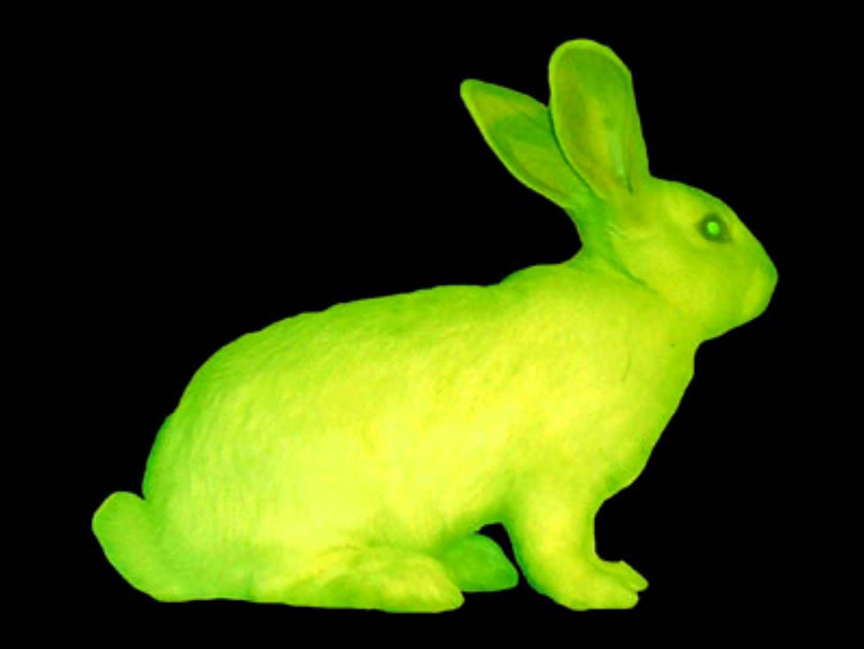 In de jaren negentig stopte Ecuardo Kac een gen van een lichtgevende kwal in een albinokonijn, waardoor het konijn groen oplichtte onder een uv-lamp. Beeld -