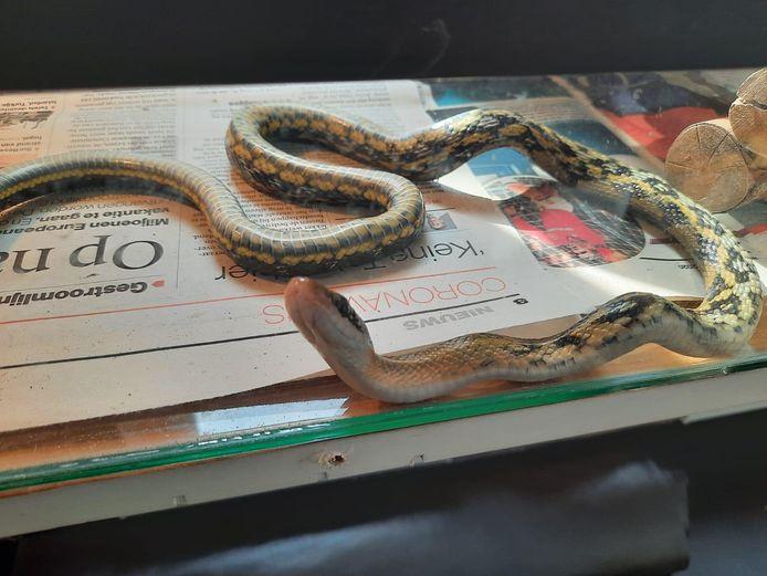 In het verblijf in de Louterbloemen kruipt de slang over een oud exemplaar van het AD.