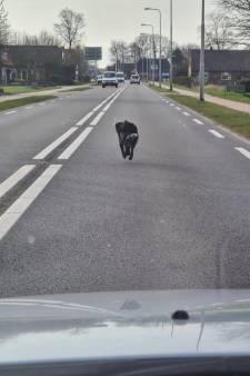 Eindelijk teken van leven van maandenlang vermiste hond Sky: grote zoektocht rondom Steenwijk