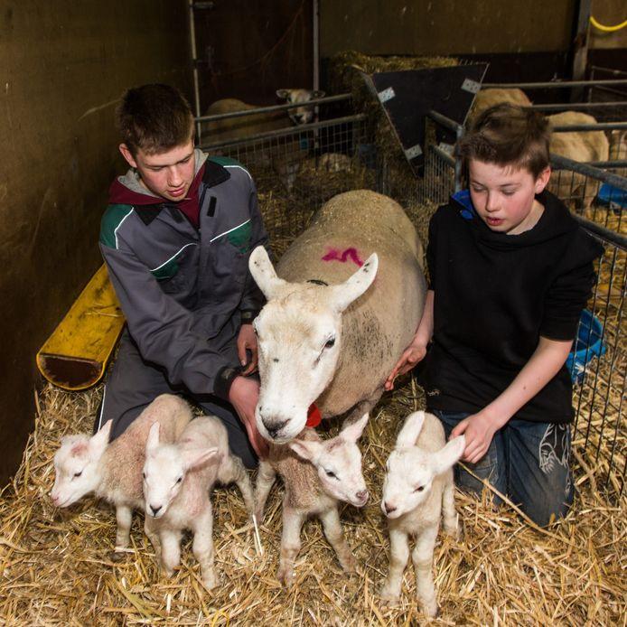Moederschaap met haar vierling en de zonen van boer Kuijer, Bart en Daan.