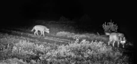Wolven gespot op Zuidwest-Veluwe: 'Er lopen er meer dan wij denken'