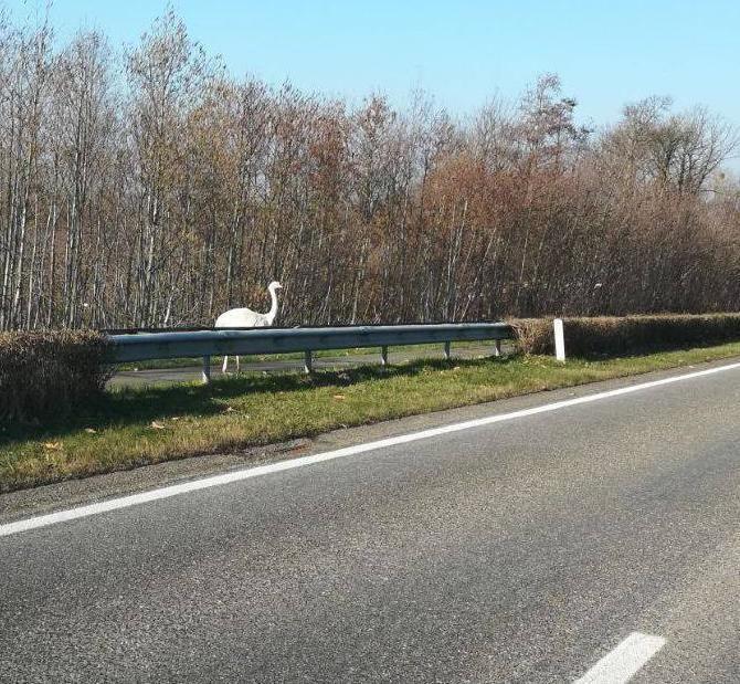 De loopvogel werd gespot langs de N76 tussen Kortessem en Borgloon.