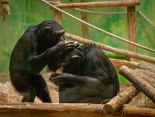 """ZOO Antwerpen onderzoekt invloed van lockdown op dieren: """"Chimpansees hadden tijdens de sluitingen opnieuw meer oog voor elkaar"""""""