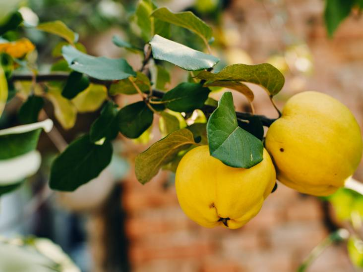 Een kweepeer is geen appel en geen peer, maar wél lekker